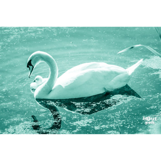 Swan and cygnet, Belfast Waterworks, Northern Ireland - photographic print for sale.